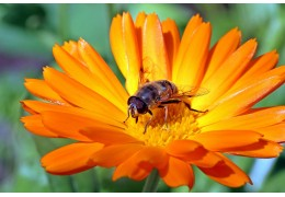 Top 10 Bee-Friendly Flowers