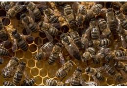 Jak dlouho má královna včela vzít na vejce?