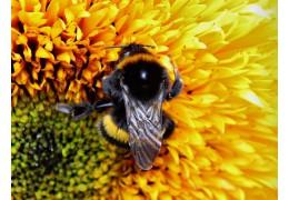 Wat zijn Bumble Bees en maken ze honing?