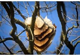 Hoeveel tijd nemen bijen om een honingraat te bouwen?