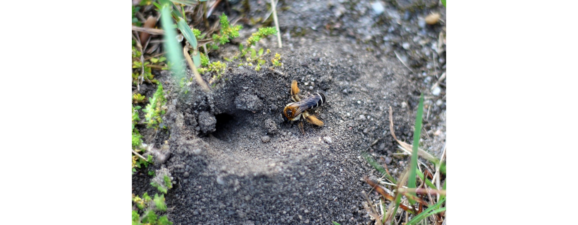 Do The Mining Bees Sting