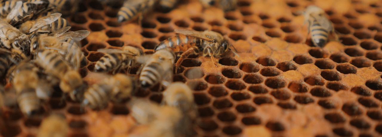 Abeja reina abeja